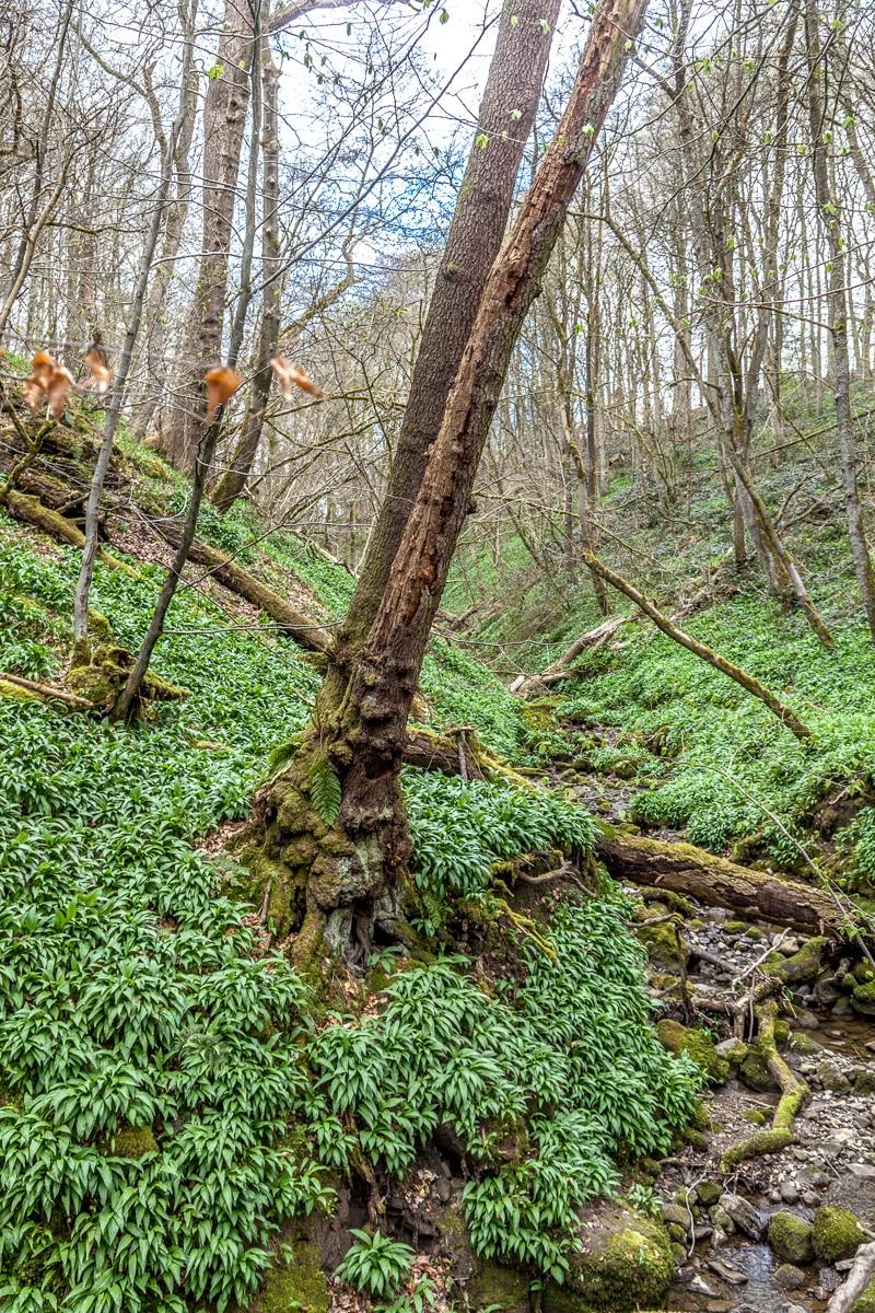 Wild garlic covers the floor of the wood - WCF-1443.jpg