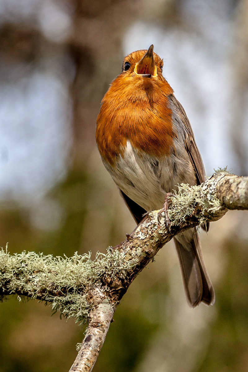 Robin Red-Breast in the gardens at Muckross House, Killarney National Park -WCF-8357.jpg