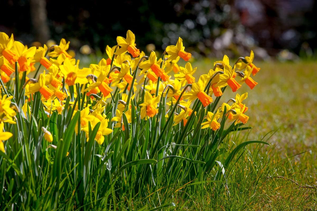 Daffodils - WCF-9299.jpg