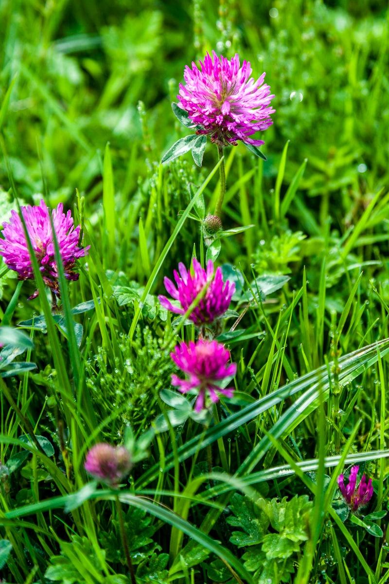 Clover flowers - WCF-4685.jpg