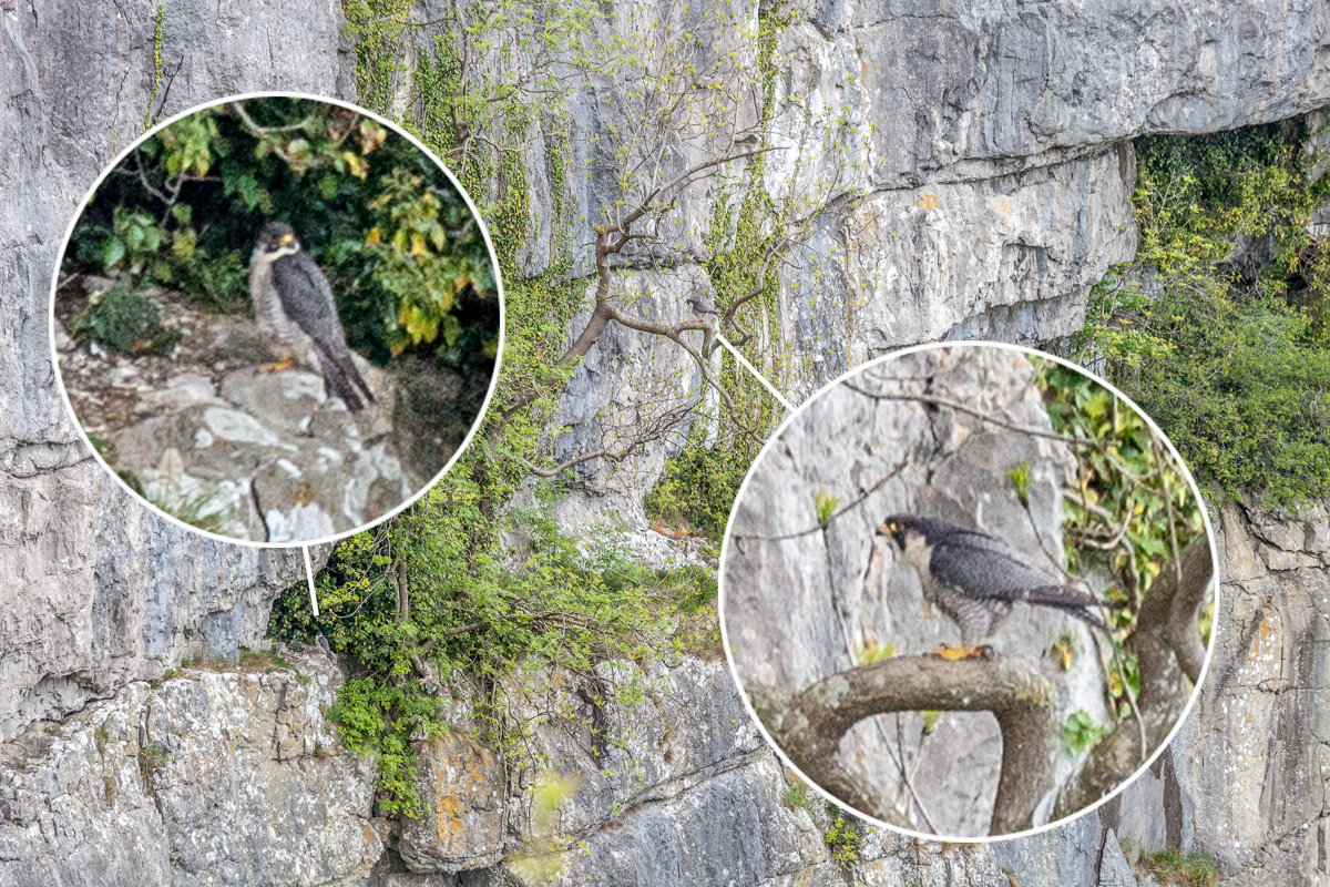 Adult Peregrine falcons in a tree across the chasm - WCF-4394.jpg
