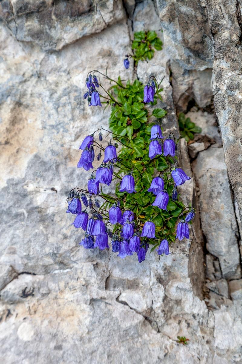 Flowers along the trail on Mount Pilatus, Switzerland - _MG_6714.jpg