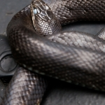 Black Rat Snake (Elaphe obsoleta obsoleta) preparing to molt