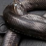 Black Rat Snake (Elaphe obsoleta obsoleta) preparing to molt