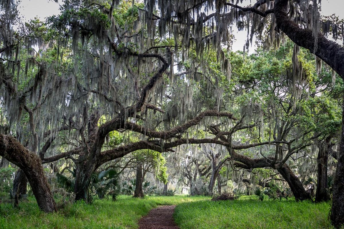 Huge old live oak forest. - WCF-0903.jpg