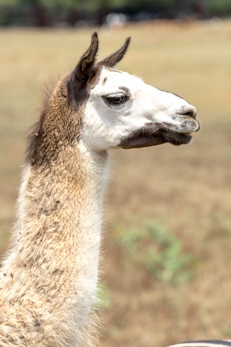 Llama, Brijuni Islands National Park - WCF-0967.jpg