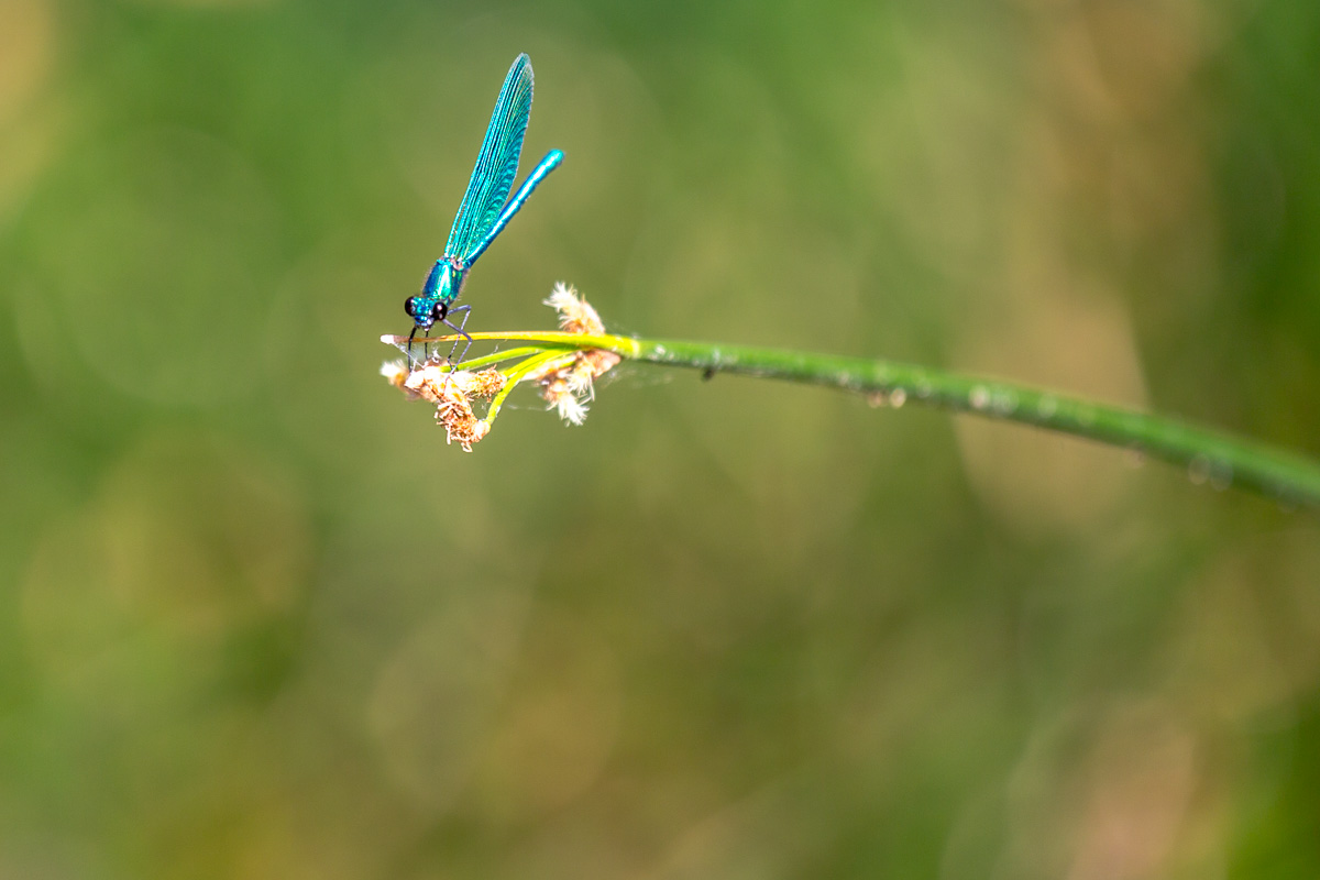 Perched damselfly in the Krka National Park, Croatia - WCF-1407.jpg
