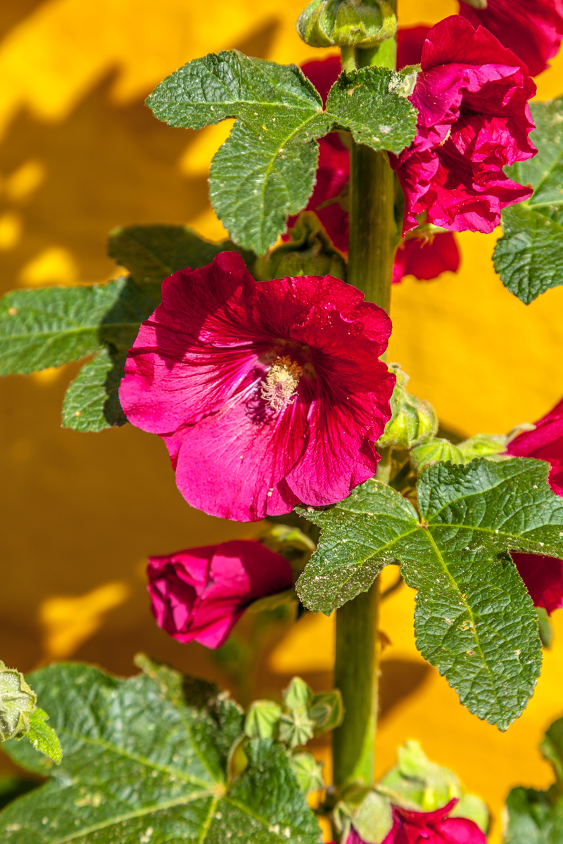Hollyhocks on Bornholn - WCF-9133.jpg