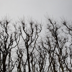 Bare trees against a gray sky